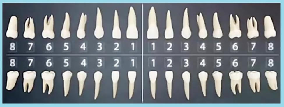 شماره گذاری دندان های دائمی آموزش دستیار دندانپزشک
